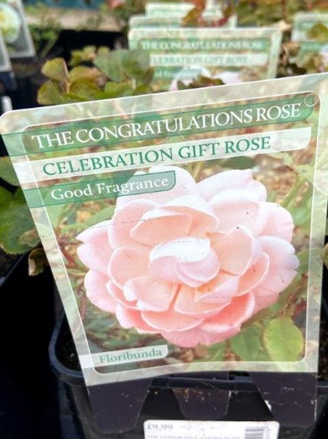 Rose Celebration 'The Congratulations Rose'