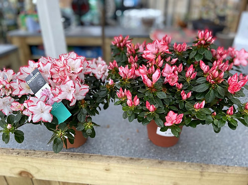 Azalea in flower