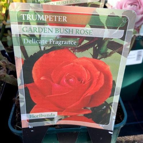 Rose Bush'Trumpeter'