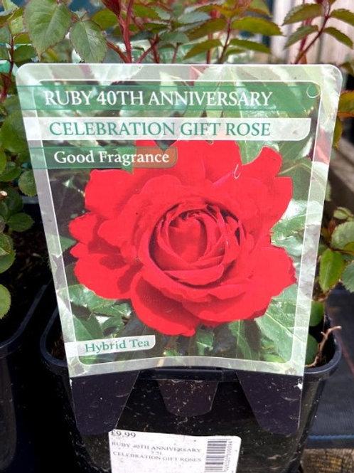 Rose Celebration 'Ruby Anniversary'