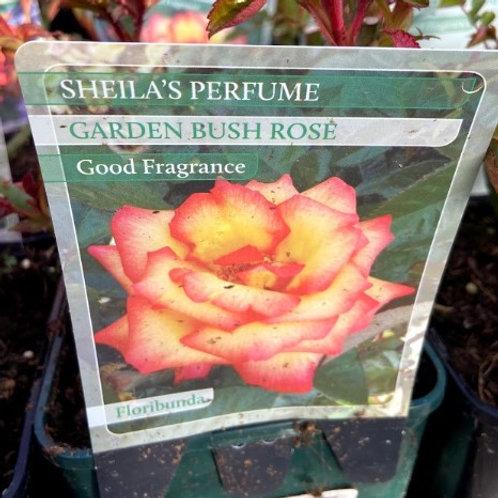 Rose Floribunda 'Sheila's Perfume'