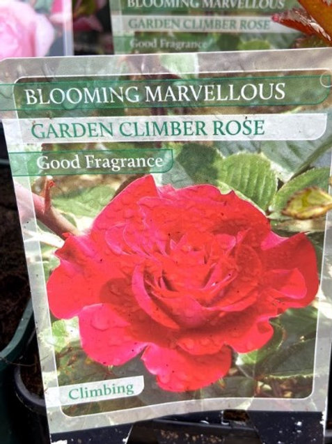 Rose Climber Blooming Marvellous