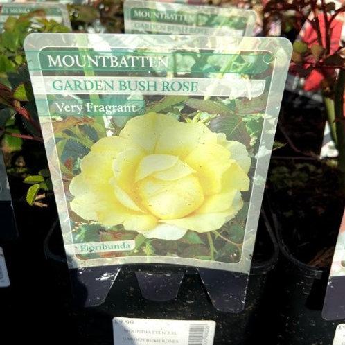 Rose Floribunda 'Mountbatten'
