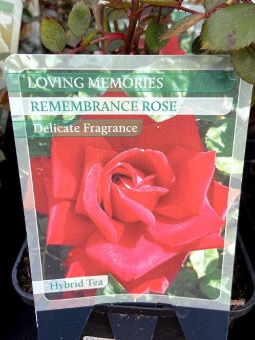 Rose Celebration 'Remembrance'