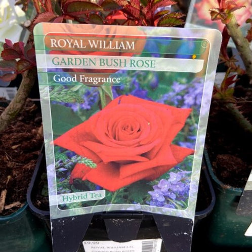 Rose Hybrid Tea 'Royal William'