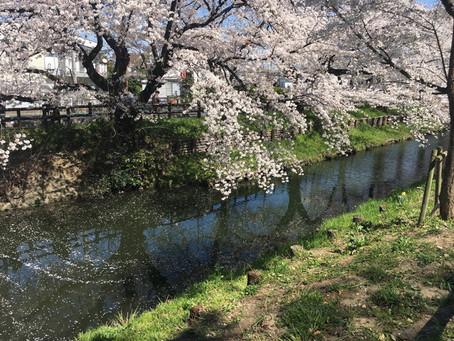 小舟から桜