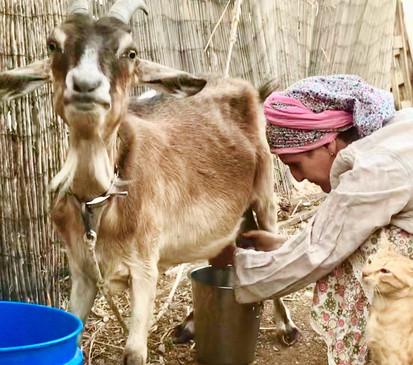 chava milking_edited.jpg