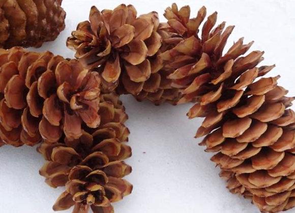 Large Sugar Pinecones (Quantity of 5)