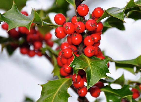 Add Holly to 22'' to 34'' Wreaths