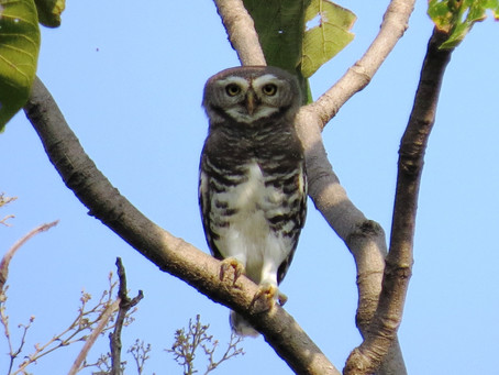 The Enigma of the Forest Owlet By Prachi Mehta