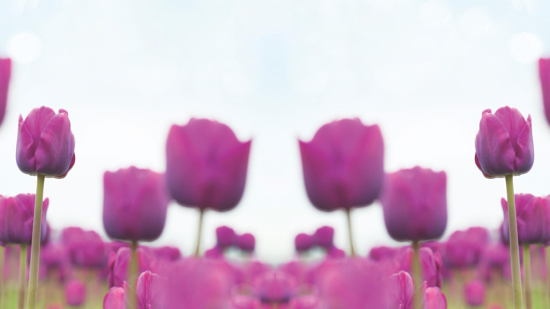 Tulips double 4.jpg