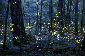 Schreiber-synchronous-fireflies-elkmont-105834.jpg