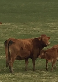 Limousin Cows.JPG