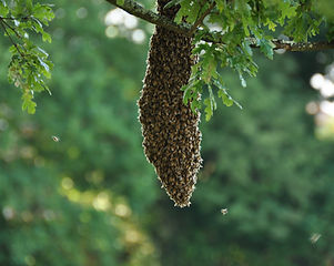 Bee_swarm_in_Plymouth.jpg