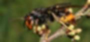 Asian_hornet.png