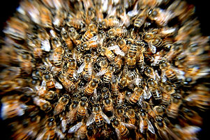 bees-swarm-insects-macro-60019.jpeg