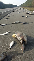 Fish on I-40 following hurricane. Image
