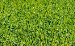 grasses-1088114_1920.jpg