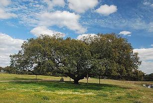 800px-Monumento_natural_Encina_de_la_Deh