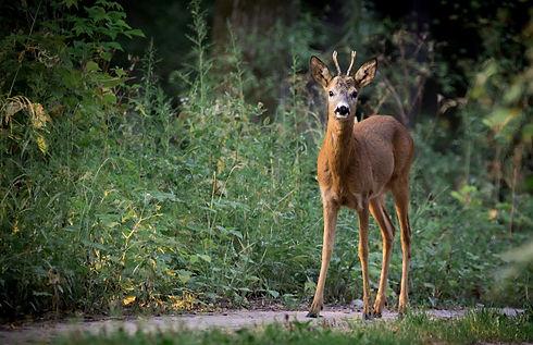 roe-deer-880581_1920.jpg