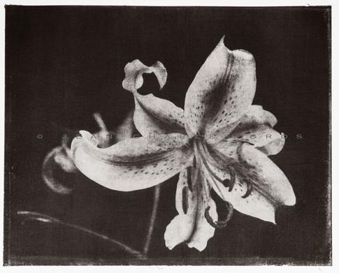 Les fleurs fanées #3. Gomme bichromatée