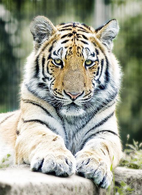 tiger-1367197_1280.jpg