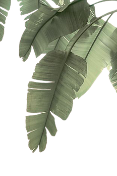 TROPICAL_BANANA_LEAVES-removebg-preview.