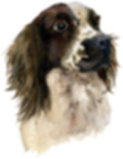 Spriger Spaniel (Ralph) watercolour painting by Kimberley Walker