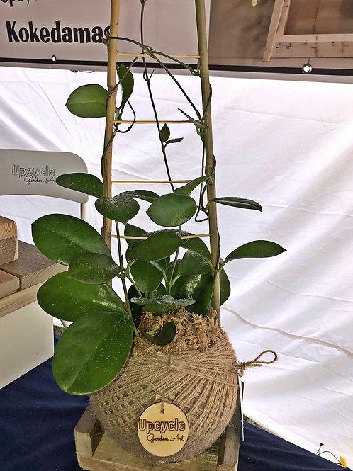Hoya Australis Kokedama