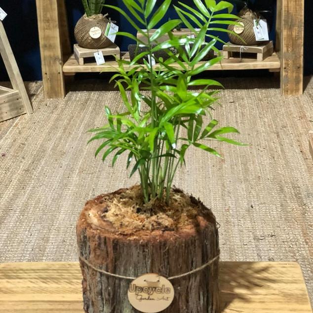 Parlour Palm Plant Log