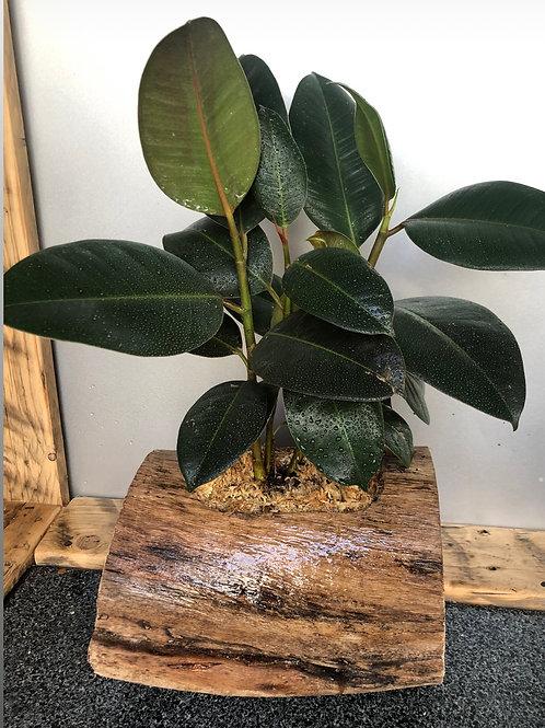 Rubber Plant - Ficus Elastica Log