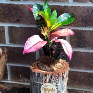Croton Plant Log