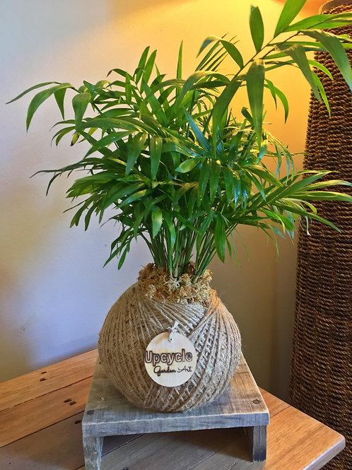 Parlour Palm Kokedama