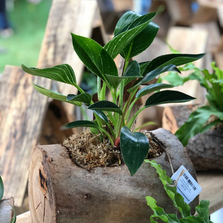 Philodendron Burkin Plant Log