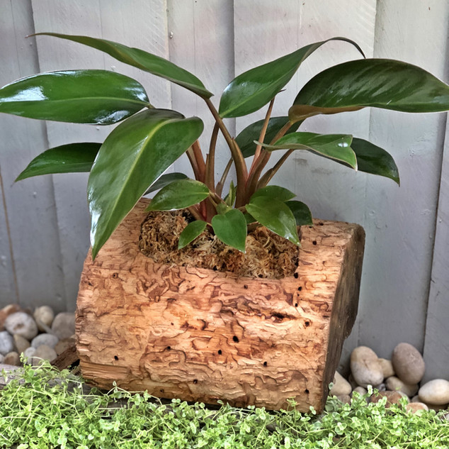 Philodendron Thai PLant Log