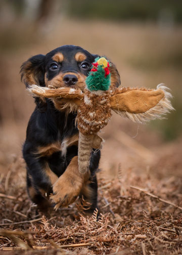 Puppy Gundog Lessons