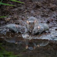 Trio of Mice_1.jpg
