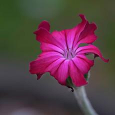 Tulip_1.jpg