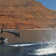 _Breaching Dolphins.jpg