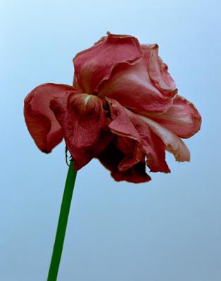 Dry-Rose-N_A