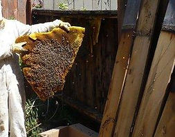 beehive removal.jpg
