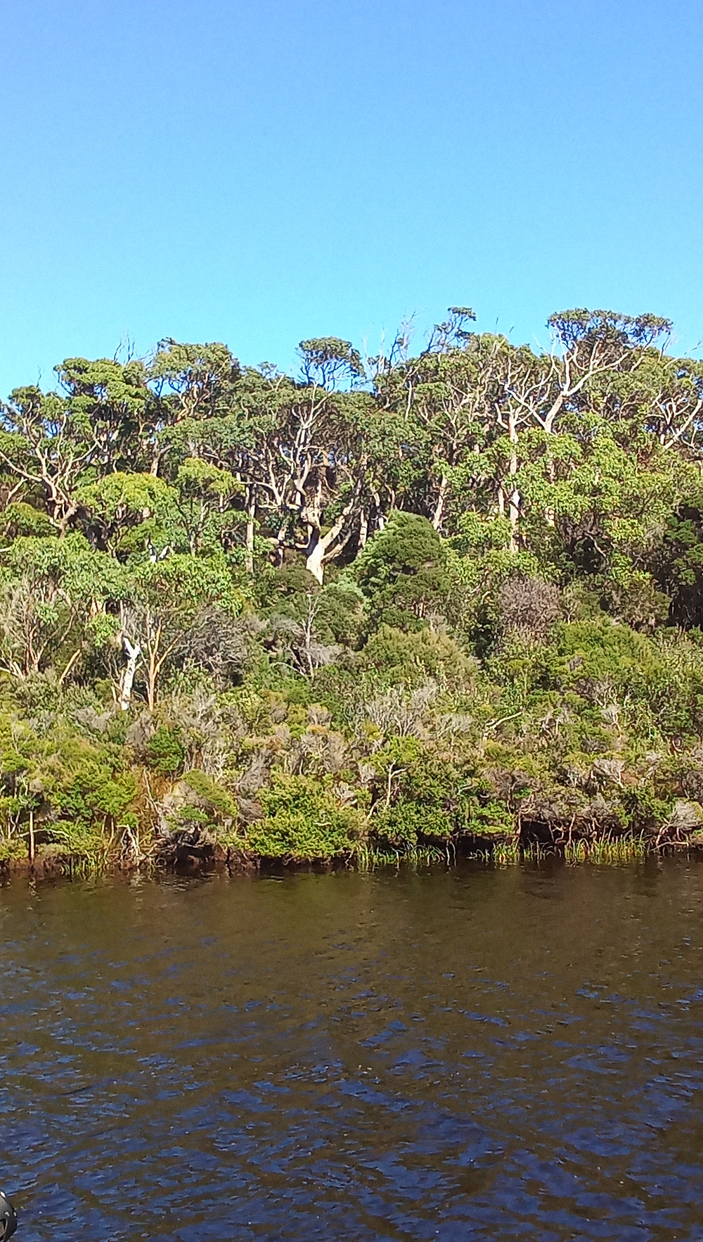 A landscape of the Arthur River in north-west Tasmania, featuring an extra-large tree with a huge birds next in a fork of the biggest tree.