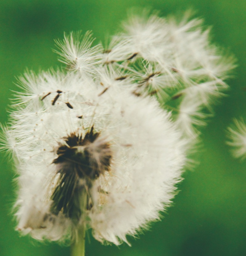 A white dandelion flower on a green background, the flower is beginning to blow away