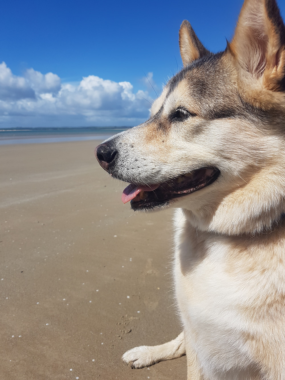 Cully, a 10 year old Malamute x Shepherd dog, sits in the sunshine looking over Stanley beach in Tasmania