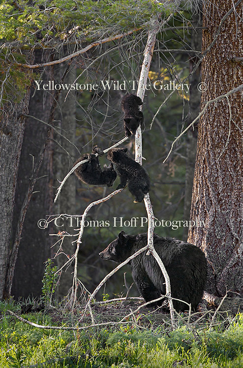 GROWING UP IN YELLOWSTONE - Black bears