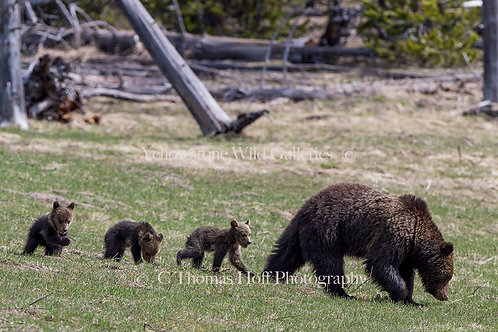 FOLLOW THE LEADER - Grizzly & cubs