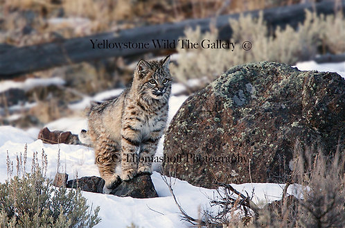 HIGH AND DRY - Bobcat