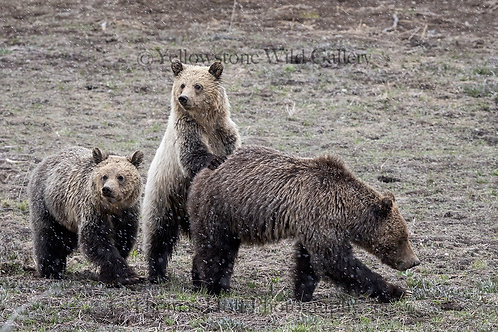 YOU FIRST, MOM - Grizzly Bears