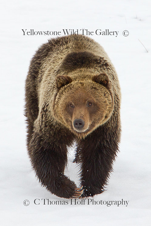 JACK THE GOLDEN BEAR - Grizzly Bear