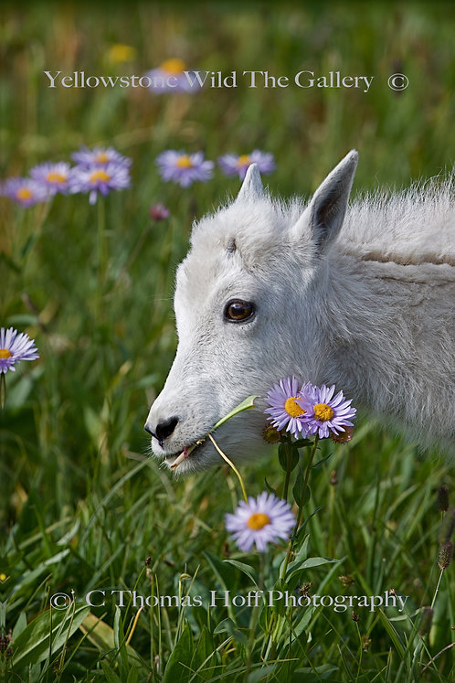 TASTY FLOWERS - Mountain Goat